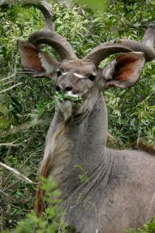 640px-Male_Kudu_Eating